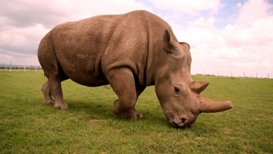 Photo of Extinction of the Northern White Rhinoceros
