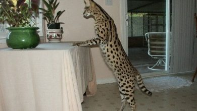 Photo of WHAT KIND OF DIET DO F1 SAVANNAH CATS EAT?